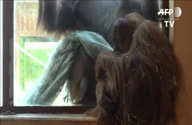 ولادة نادرة لقرد اورانغ-اوتان في حديقة حيوانات فرنسية