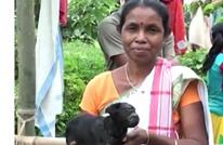 """هذه قصة الماعز التي أصبحت """"معبودة"""" في الهند (شاهد)"""