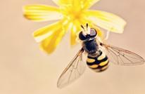 باحثون: سم نحل العسل يقتل خلايا هذا النوع من السرطان