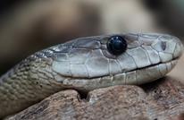 العثور على ثعبان بثلاث أعين في أستراليا (شاهد)