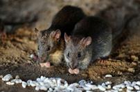 دراسة: هكذا استعانت الفئران بالإنسان لغزو العالم