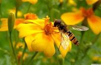 ملوثات الهواء تفقد الحشرات القدرة على شم الزهور