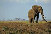 انخفاض عدد الفيلة للنصف في تنزانيا خلال خمس سنوات
