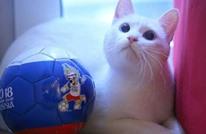 القط الأصم يتنبأ بنتيجة مباراة المغرب وإيران
