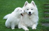 أجسام مضادة لعلاج السرطان عند الكلاب