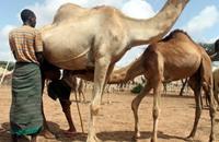 """""""حليب النوق"""" يروي عطش الصائمين في الصومال"""