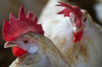رائحة الدجاج.. علاج فعال لطرد بعوض الملاريا