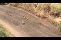 بالفيديو.. أرنب شجاع يهاجم ثعبانا ويدحره (شاهد)