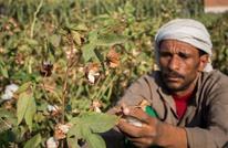 وزير مصري: مساحة زراعة القطن الأقل منذ العام 1800