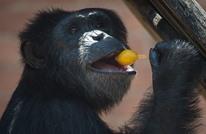 """""""شامبانزي"""" يتجول بشارع بالرياض ويثير نشطاء التواصل (شاهد)"""