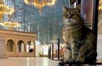 القطة جلي ستبقى بمسجد آيا صوفيا بعد أن كانت تقطن المتحف