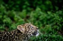 أنثى نمر تهاجم حارسة بحديقة حيوانات بسويسرا وتقتلها