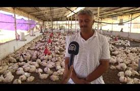 موجة الحر تلحق أضراراً بمزارعي الدواجن في غزة