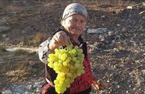 عنب الخليل.. المنتج الثاني بعد الزيتون في فلسطين