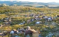 صواعق في النرويج تقضي على 300 من حيوانات الرنة البرية