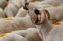 """إقليم جديد في بلجيكا يمنع """"الذبح الحلال"""" للحيوانات"""
