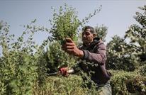 زراعة الزعتر بغزة.. نجاح للتجربة وتطلعات للاكتفاء الذاتي