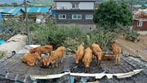 أبقار في كوريا الجنوبية حبيسة الأسطح بسبب الفيضانات