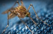 """أستراليا تبني """"مصنع حشرات"""" وتجندها لمكافحة هذا المرض"""