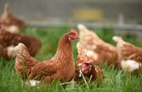 """طبيب سوري يدرس لقاحات """"الدجاج"""" وعلاقتها بكورونا"""