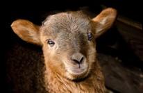 خروف العيد المُزين يختفي من أزقة تونس العتيقة