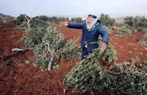 مزارعون يواجهون كارثة تخريب المستوطنين أشجار الزيتون بالضفة