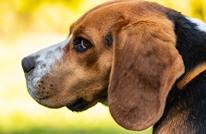 كلب يرفض التخلي عن صديقه بعد إصابته بحادث سير (شاهد)